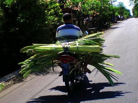 Bali_Roller