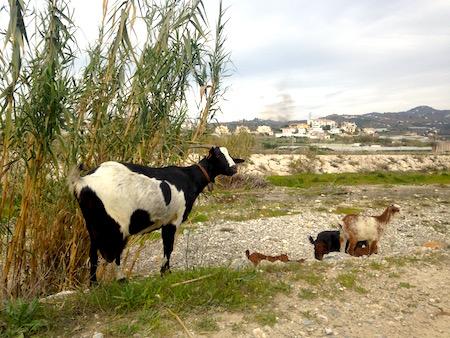 Ziegen_Spanien_Gemueseanbau